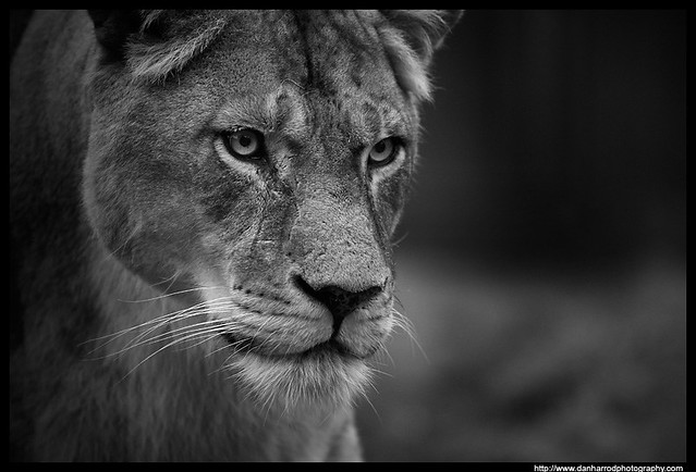 Lioness, Black and White Study   Flickr - Photo Sharing!