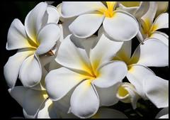 White Frangipani Redcliffe-03