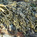 Little Rockweed - Photo (c) Jerry Kirkhart, some rights reserved (CC BY)