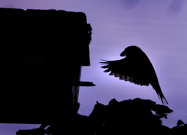 Silhouette of bird feeding young.