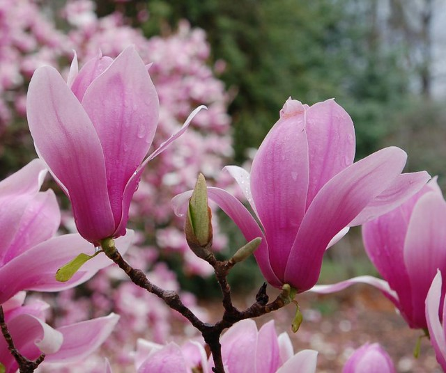 Pink flowering trees a gallery on flickr magnolia x soulangeana verbanica mightylinksfo Gallery