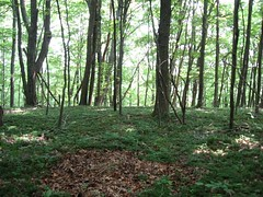 Woods with Ground Cover