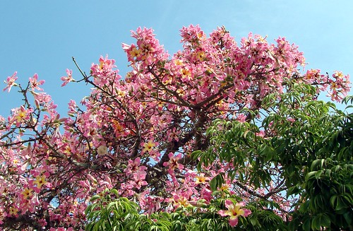Silk floss tree branches, some with flowers, some with leaves