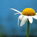 "Good ""daisy"" morning by flavita.valsani"