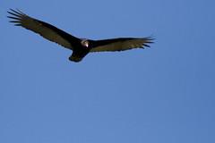 Sycamore Grove Condor