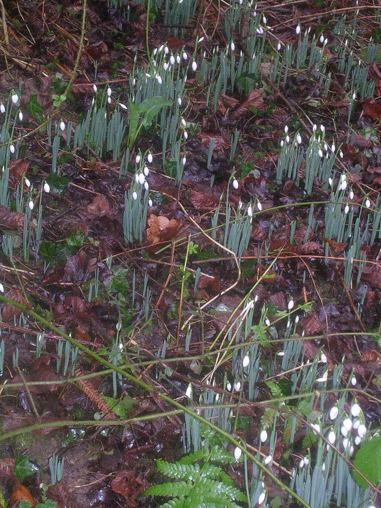 Snowdrops Newbury Racecourse to Woolhampton