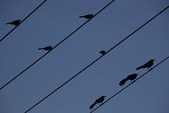 animal, wing, raven, crow, silhouette, line, swallow, sky, bird,