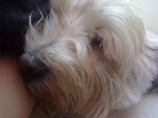 Westy Terrier