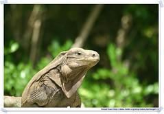 20041020_Guana@BVI_Rock Iguana_001_A