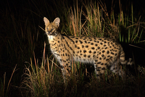 Serval at night