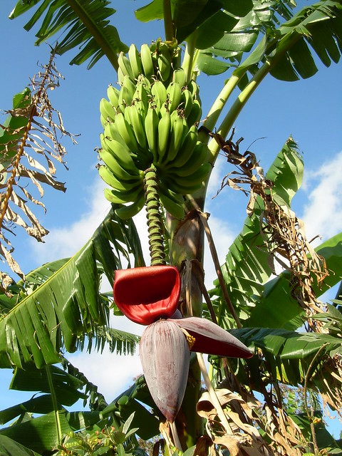 I See a Banana Tree (what do you see?)