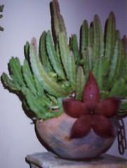 Intercambio cactus stapelias semillas foro de infojard n for Cactus variedades