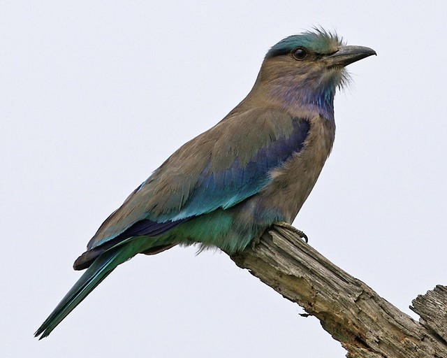 a description of the indian roller Indian rollers, coracias benghalensis: origin, description, photos, diet and breeding.