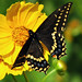 Eastern Black Swallowtail - Photo (c) Lisa Brown, some rights reserved (CC BY-NC)