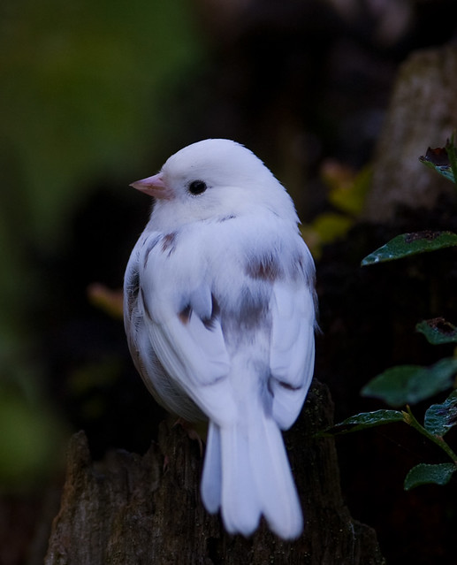 Leucistic Dark-eyed Junco