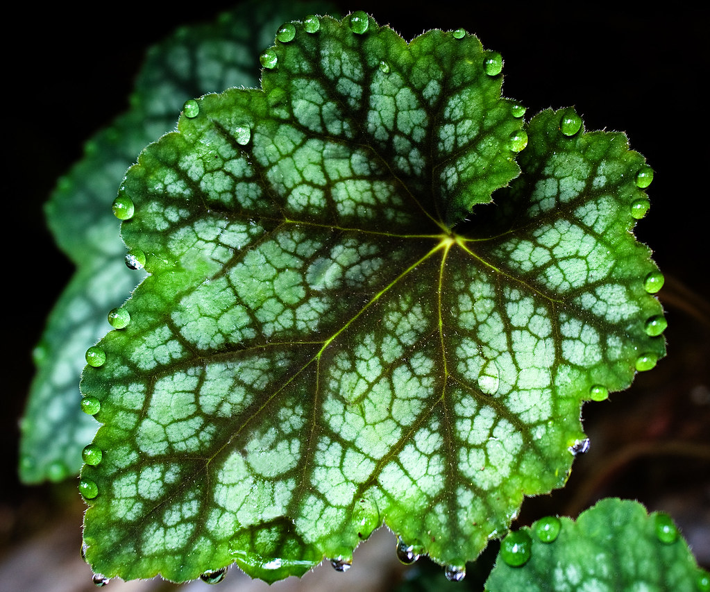 Bejeweled Heuchera