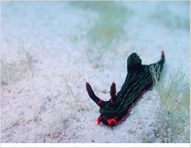 こちらも砂地を徘徊中。アカフチリュウグウウミウシ