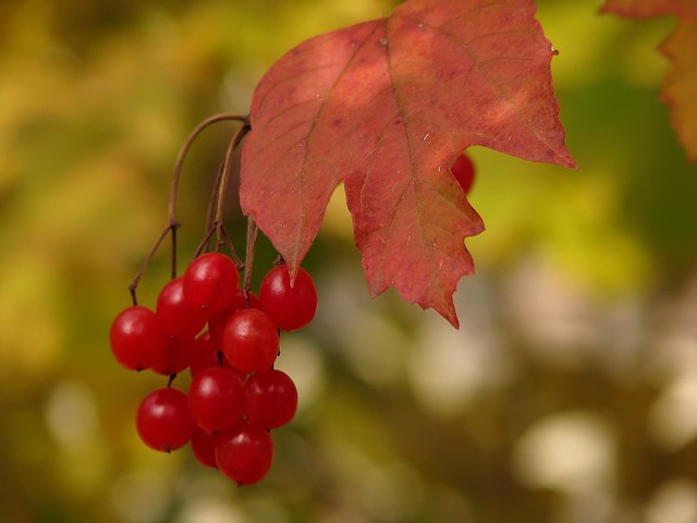 Fall Berries from Flickr via Wylio