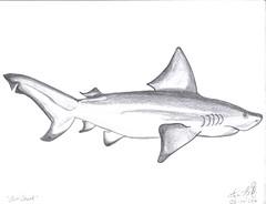 animal, fish, shark, fish, illustration, carcharhiniformes,