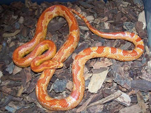 "Fluorescent Orange Corn Snake Cornsnake ""ZigZag..."