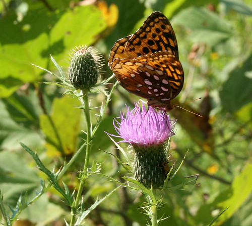 Frittilary butterfly on thistle