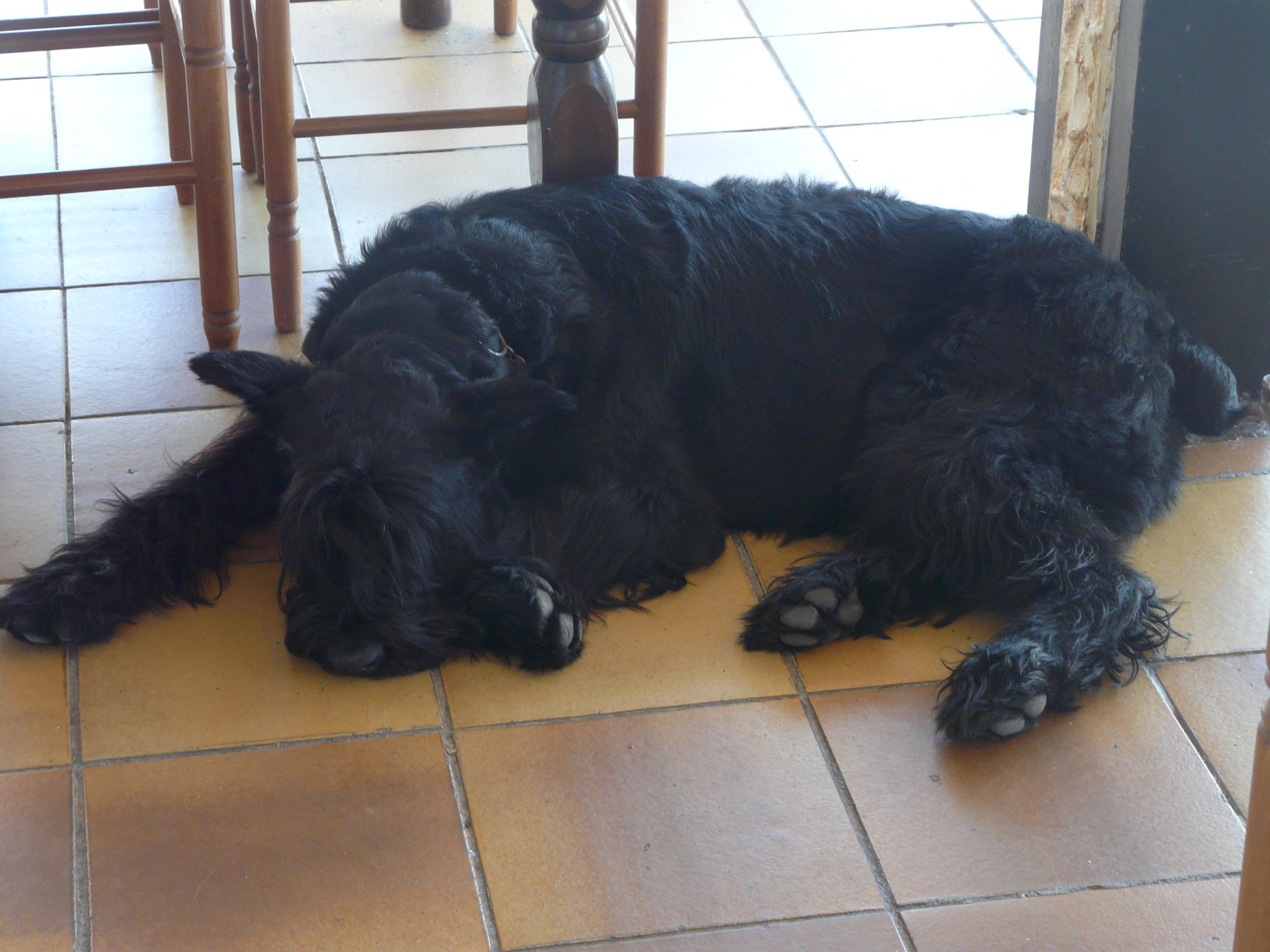 Big Schnauzer Looking Dog