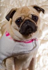 dog modeling