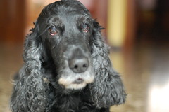 dog breed, animal, dog, boykin spaniel, pet, field spaniel, setter, russian spaniel, english cocker spaniel, picardy spaniel, spaniel, american water spaniel, american cocker spaniel, carnivoran,