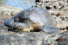 animal, turtle, reptile, loggerhead, marine biology, fauna, common snapping turtle, wildlife, sea turtle, tortoise,