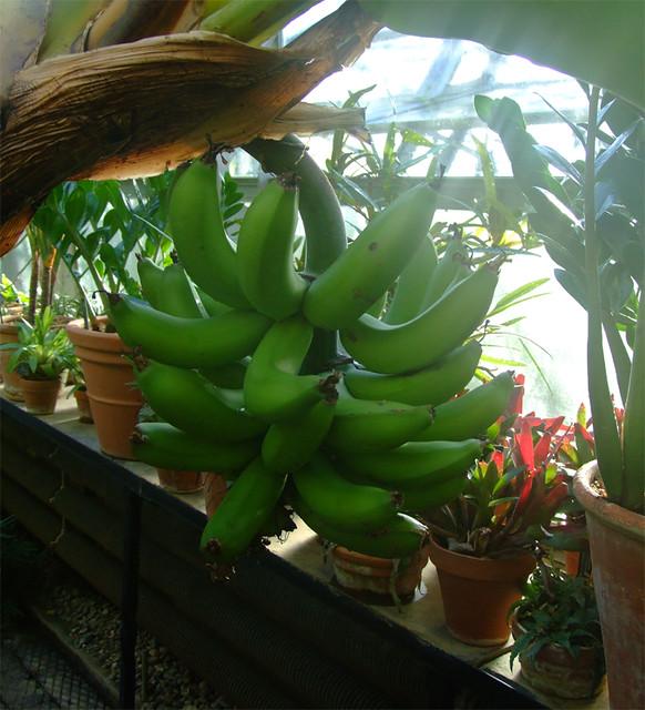 Botanical Gardens/Banana tree