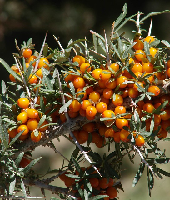 Seabuckthorn Berries Uk Whole Foods