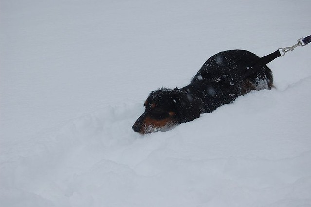 Funny Cute Puppy Mini Long Haired Dachshund Lost Deep in the Snow