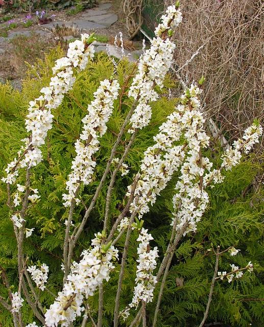 Daphne mezereum 'Bowle's White'