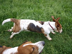 goats(0.0), ibizan hound(0.0), dog breed(1.0), animal(1.0), basset hound(1.0), dog(1.0), american foxhound(1.0), pet(1.0), mammal(1.0), terrier(1.0),