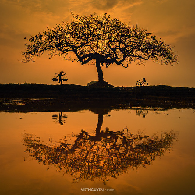 A tree in a rice field in countryside of Vietnam