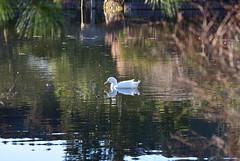 ryoanji swan