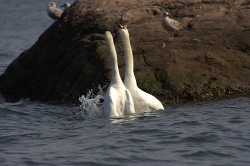 park love birds animal sex island long swans breeding sound wildwood making fornication canonef75300