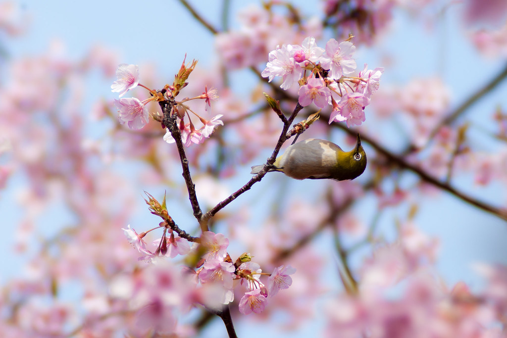 河津桜×メジロ