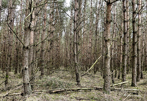 An army of trees marching through the woods.... - nature reserve Sallandse Heuvelrug