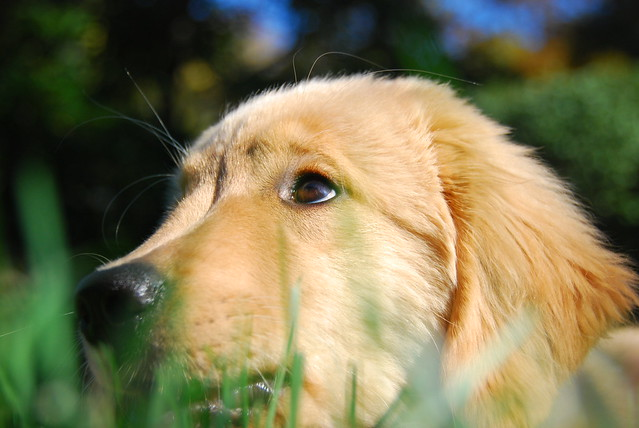 golden retriever dog lovers to download golden retriever dog lovers ...