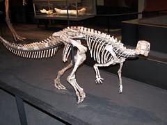 velociraptor, skeleton, dinosaur,
