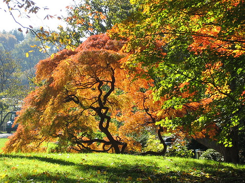 Cutleaf Japanese Maple