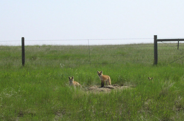 Red fox family (Vulpes vulpes), Montana
