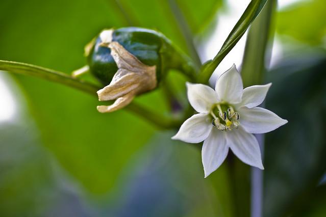 Paprika starting and flowerPaprika Flower