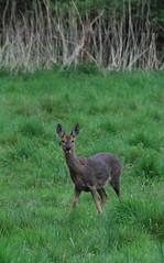 hare(0.0), white-tailed deer(0.0), animal(1.0), prairie(1.0), deer(1.0), fauna(1.0), musk deer(1.0), wildlife(1.0),