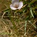 Small photo of Alkali mariposa lily, Calochortus striatus