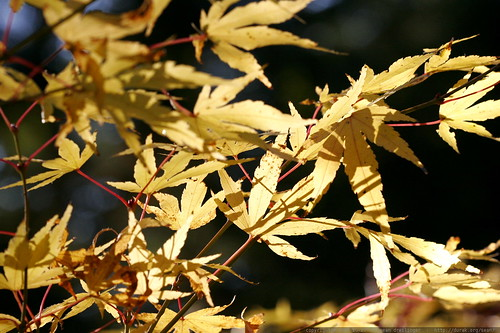 yellow japanese maple leaves with red stems    MG 5355