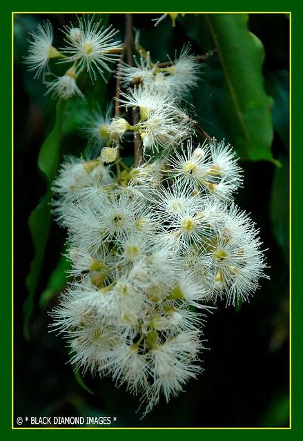 Waterhousea floribunda or Syzygium floribundum - Weeping Lillypilly