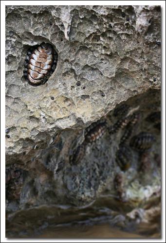 Cockroach  Sea Cockroach