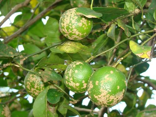 Resultado de imagem para pé de limão capeta verde